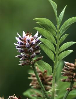 Знаем ли всичко за билката Сладък корен?